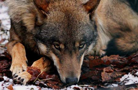 Fall's_Wolf